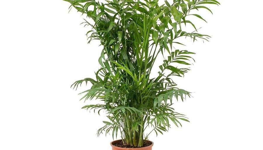 Chamaedorea Palm care