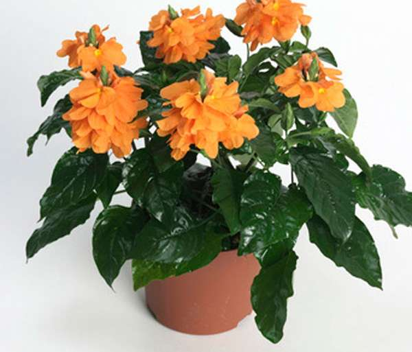 Crossandra care