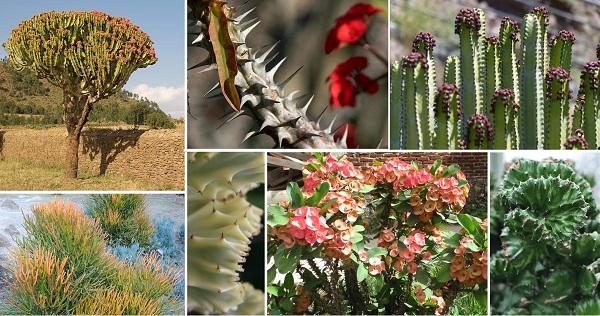 Euphorbia care
