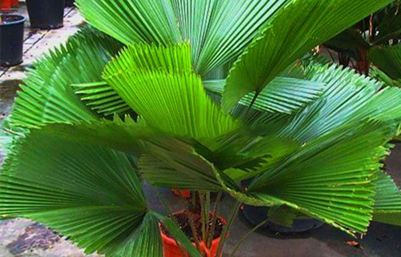 Livistona Palm care