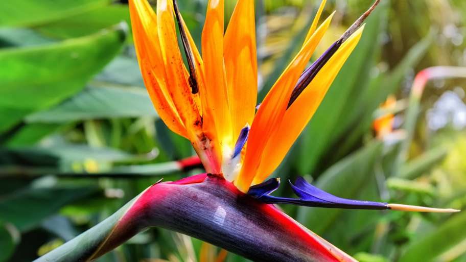Bird of Paradise (Strelitzia) care