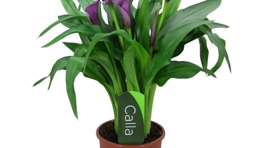 Calla Lily (Zantedeschia) care