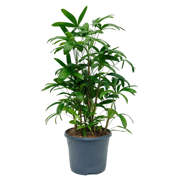 Bamboo (Rhapis) Palm care