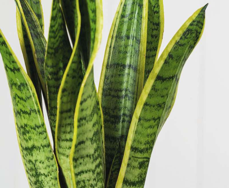 Snake Plant/Mother-in-laws Tongue (Sansevieria) care