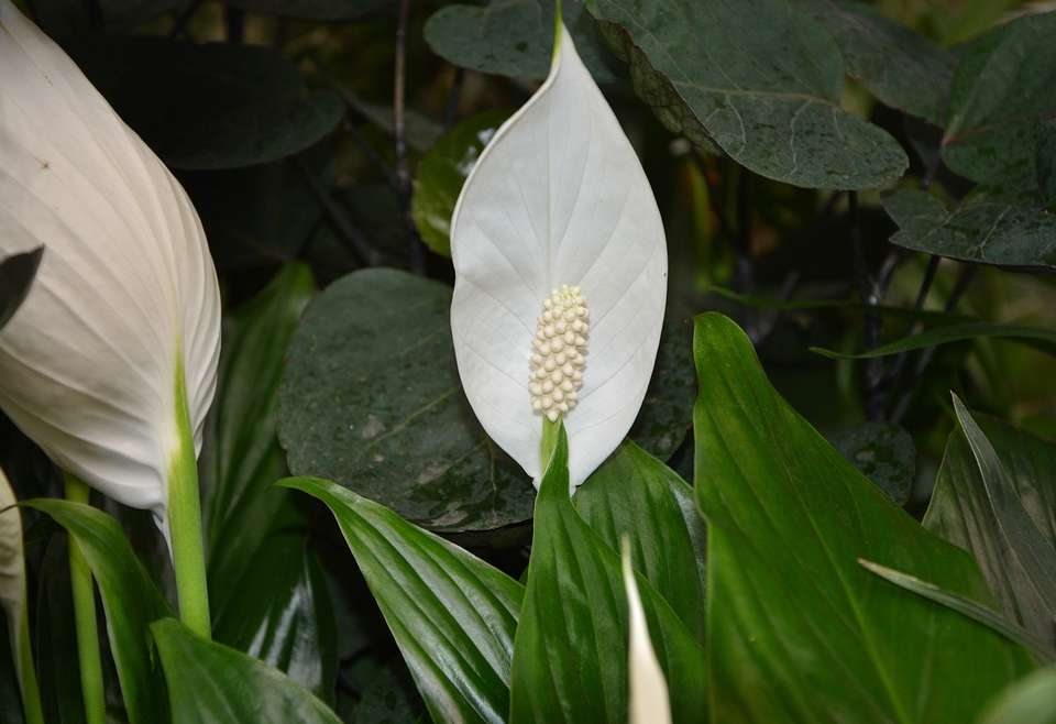 Peace Lily (Spathiphyllum) care