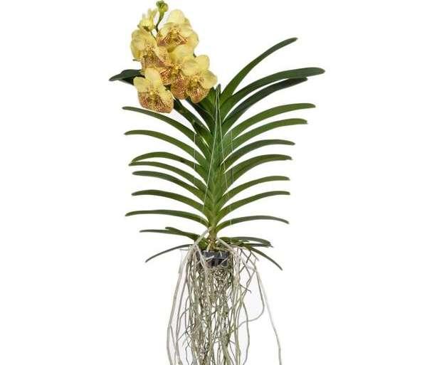 Vanda Orchid care